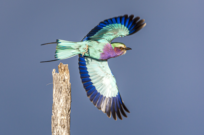 Day Safari in Kruger National Park picture of a Lilac Breasted Roller