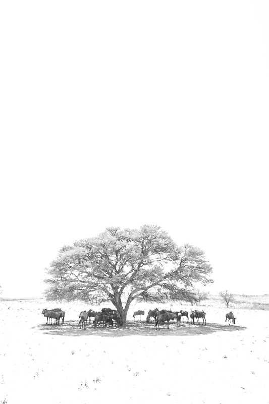Wildebeest under tree Predators and Wildlife Kgalagadi Photo Safari