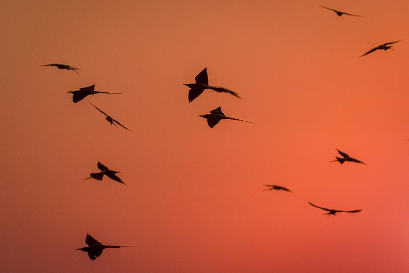 Botswana & Zambezi Region - Birding & Photography CArmine Bee-eaters at dusk