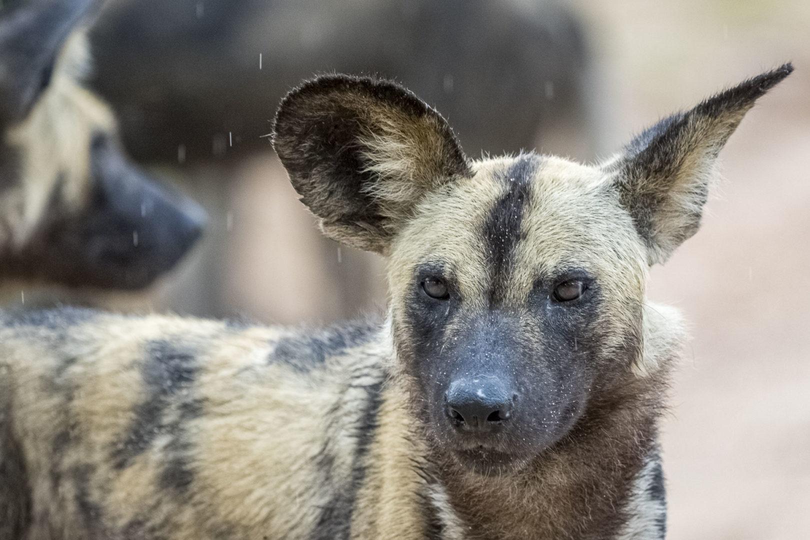 Skukuza Safari Lodge and Private Safari image ofa wild dog