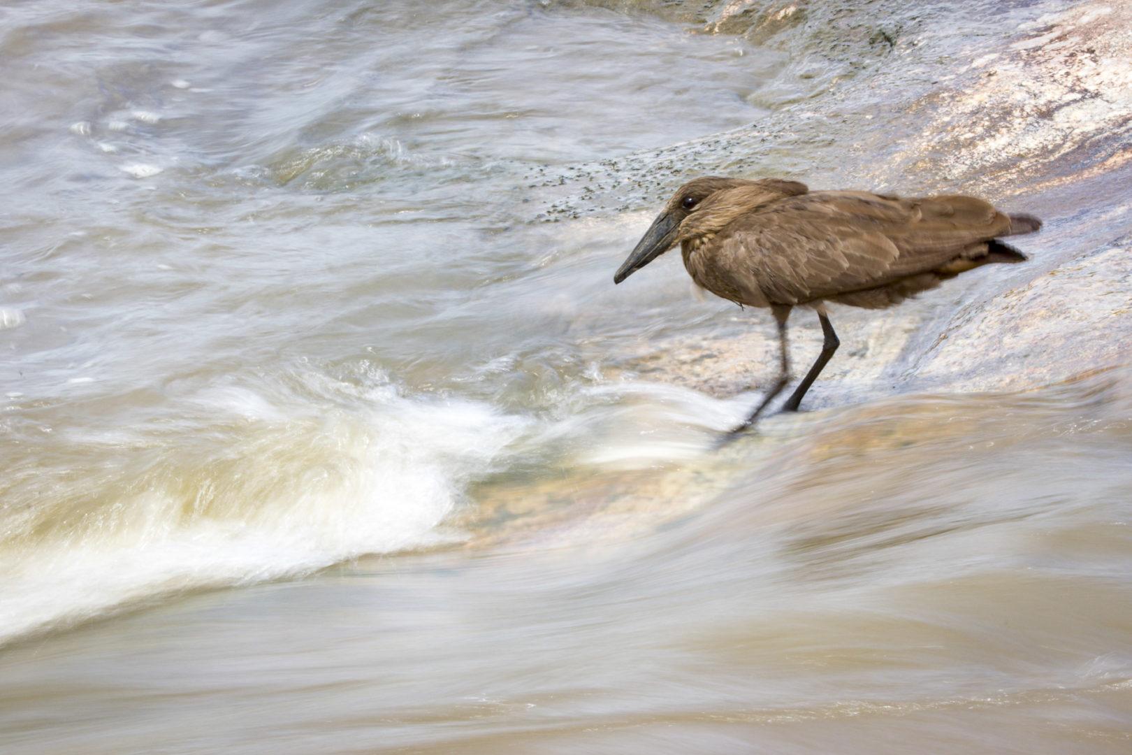 Skukuza Safari Lodge and Private Safari image oga hammerkop next to slow motion water