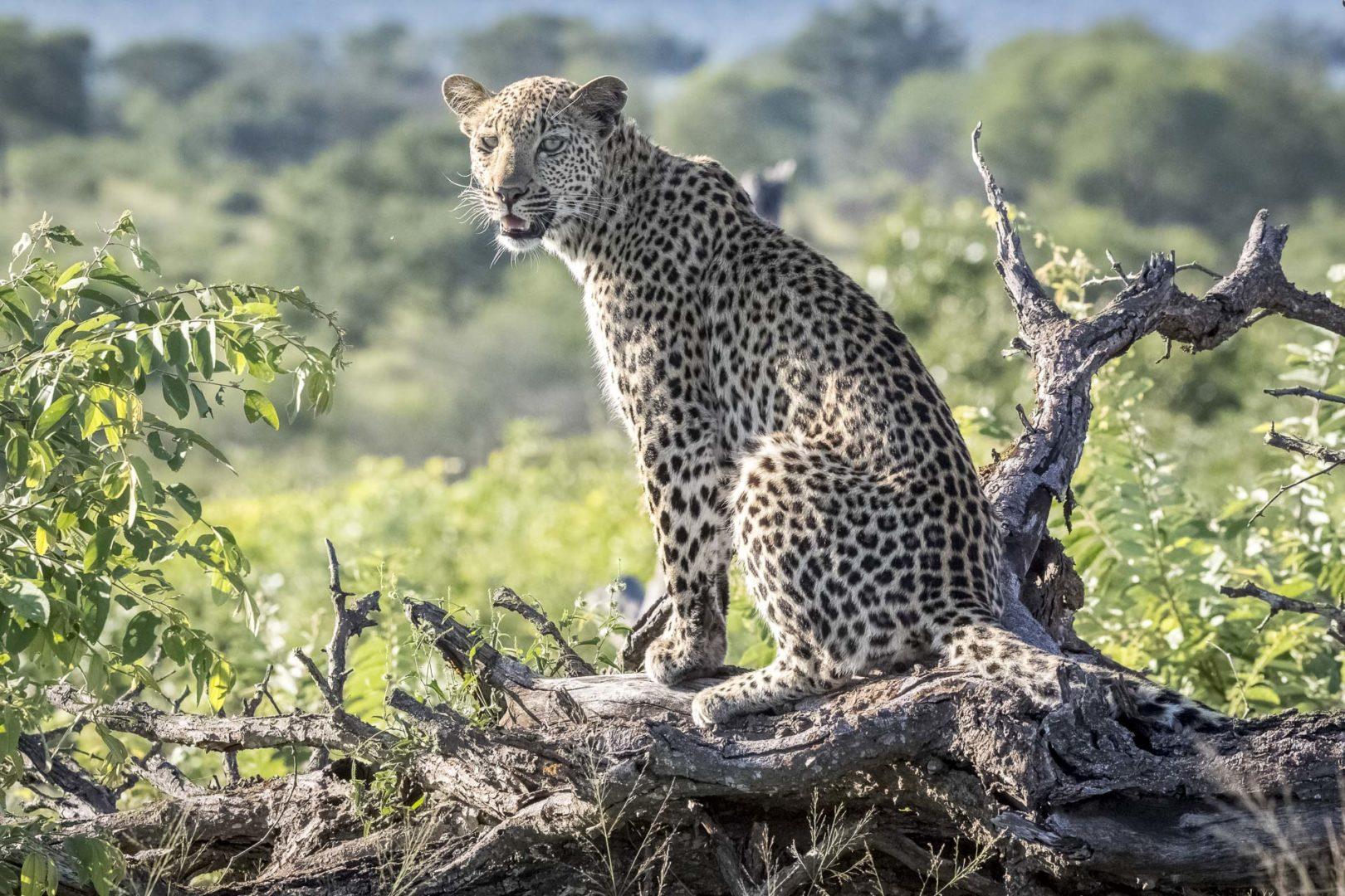 Skukuza Safari Lodge  and Private Safari image of a Leopard on a log