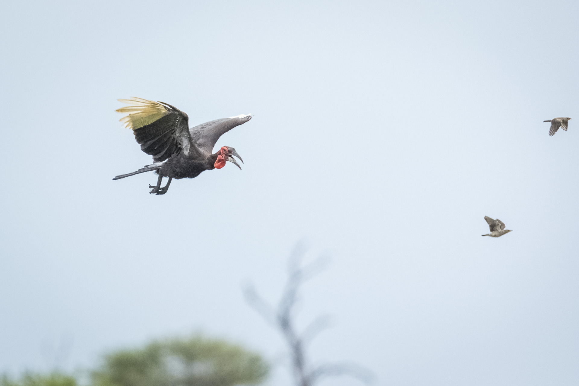 Private Day Safari in Kruger National Park image of ground hornbill in flight