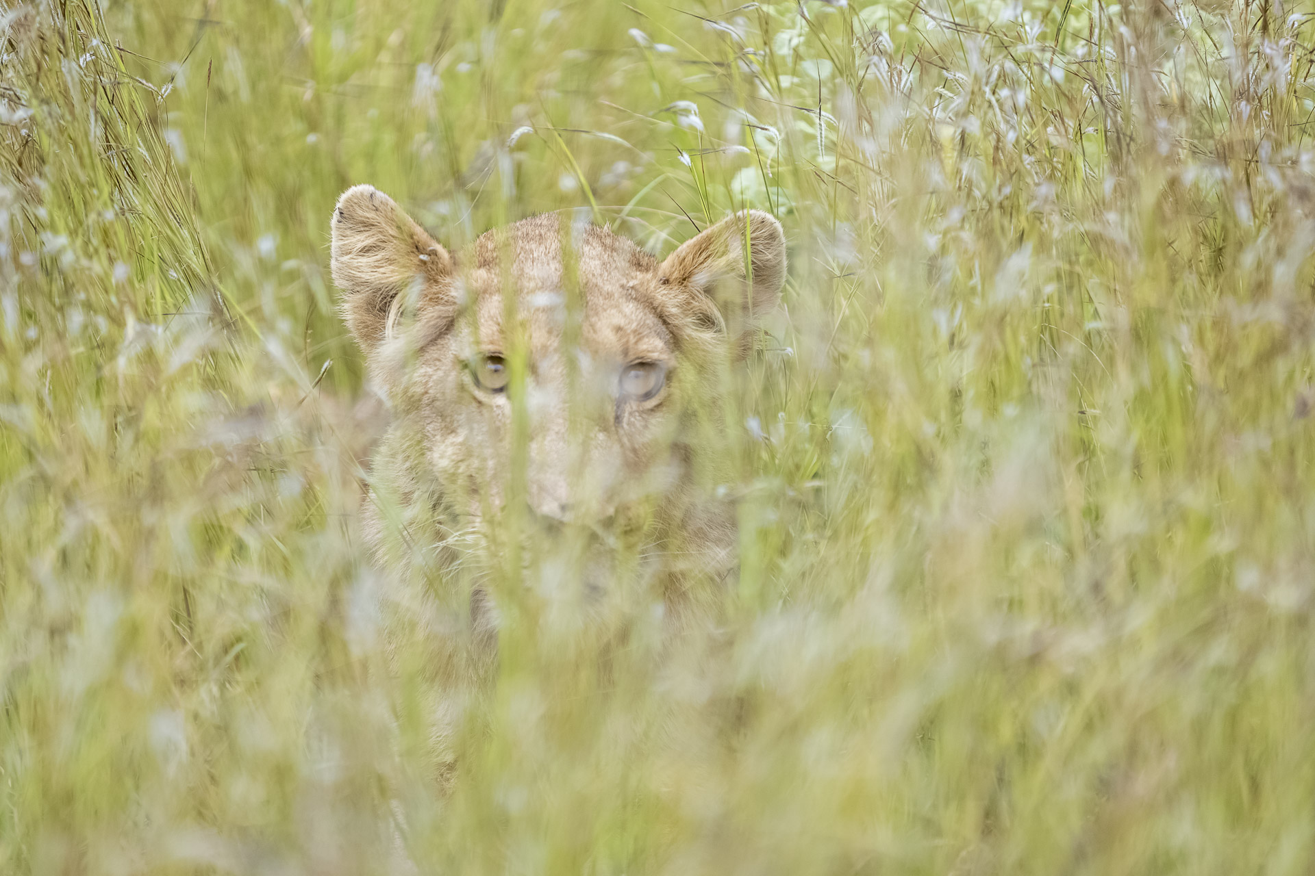 Private Day Safari in Kruger National Park image of a lion in long grass