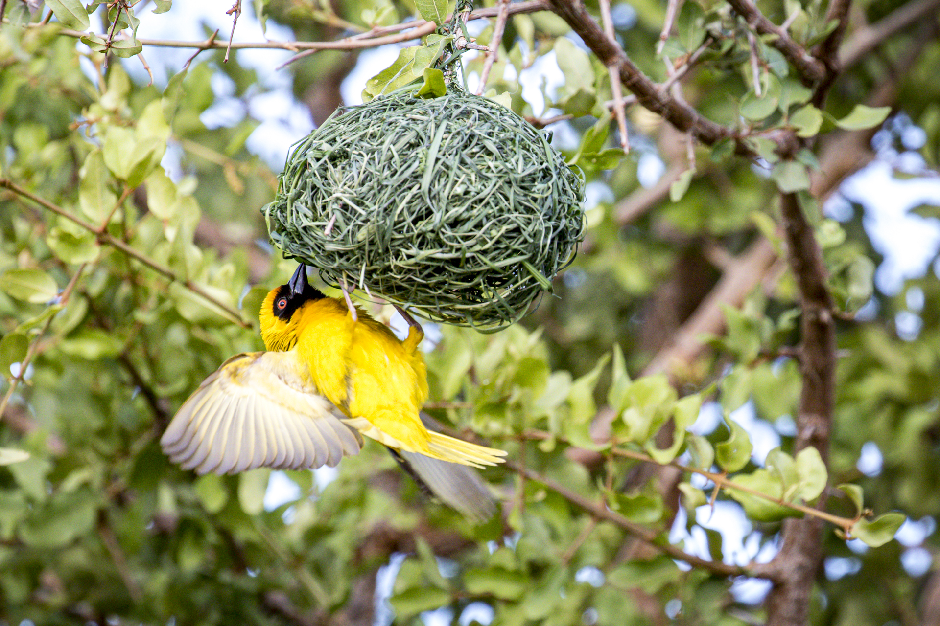 4 Day Madikwe Photo Tour Weaver building a nest