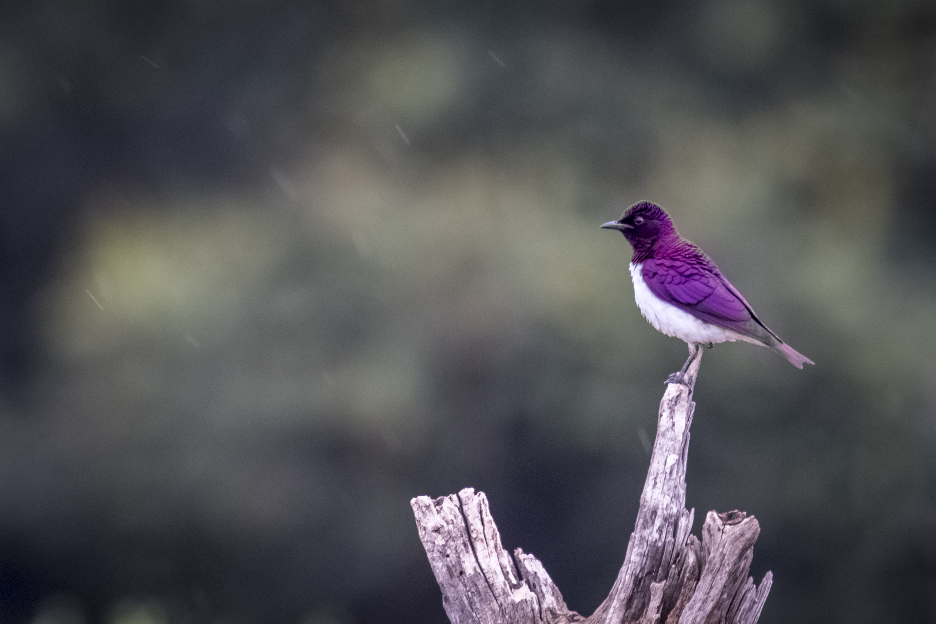 4 Day Madikwe Photo Tour Violet backed starling male photo