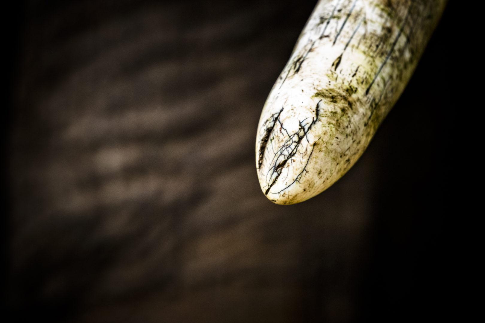 4 Day Madikwe Photo Tour Elephant tusk abstract photo