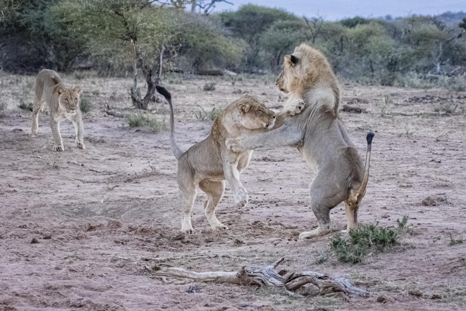 4 Day Madikwe Photo Tour Lions playing