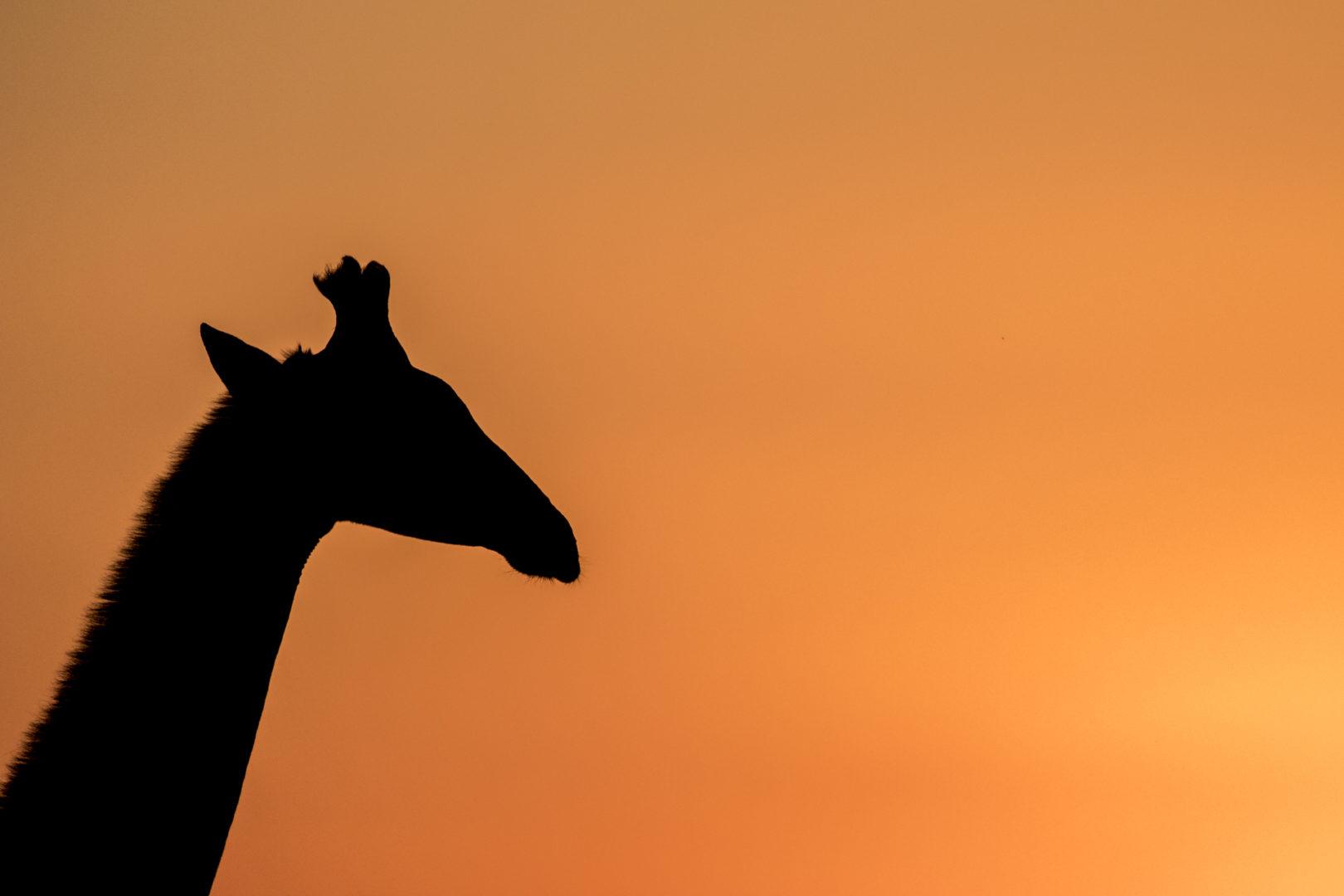 4 Day Madikwe Photo Tour Giraffe Silhouette