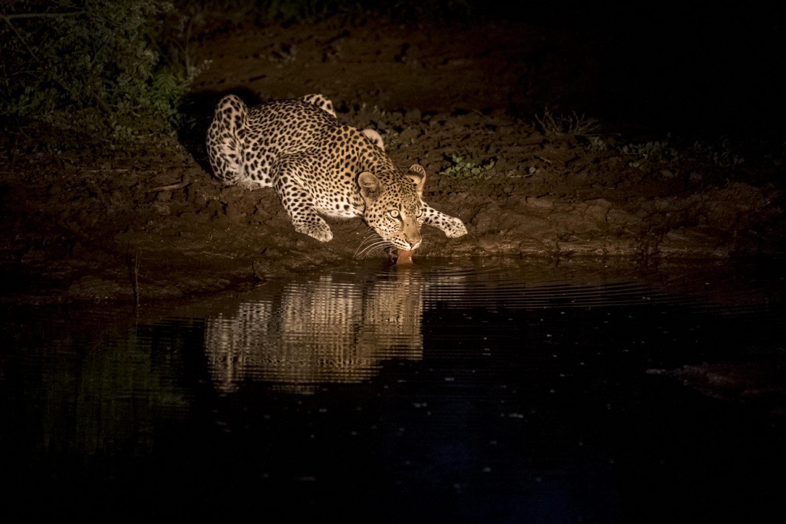 4 Day madikwe Photo Tour Leopard drinking at night