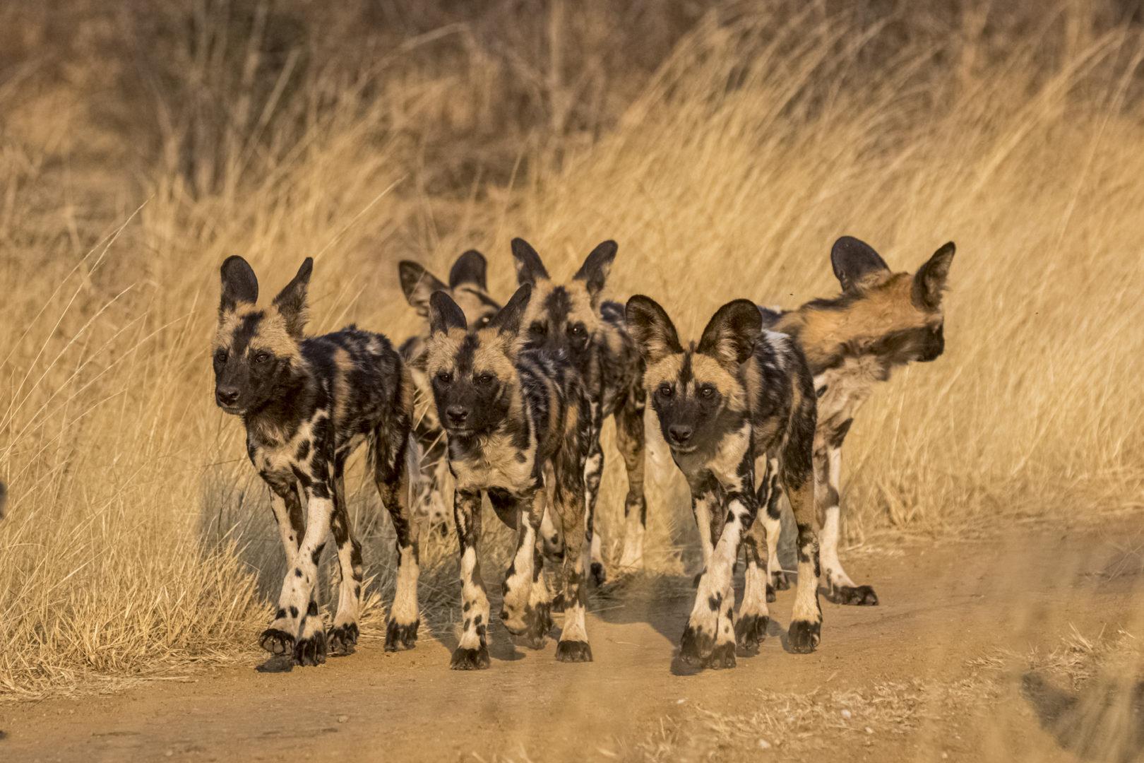 4 Day Madikwe Photo Tour Wild dog puppies