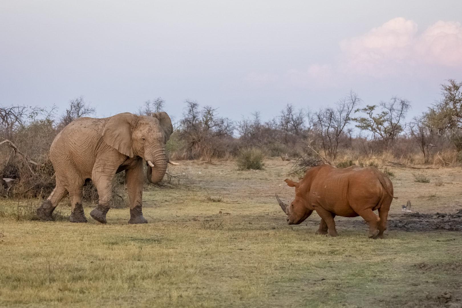 4 Day Madikwe Photo Tour White rhino and Elephant standoff