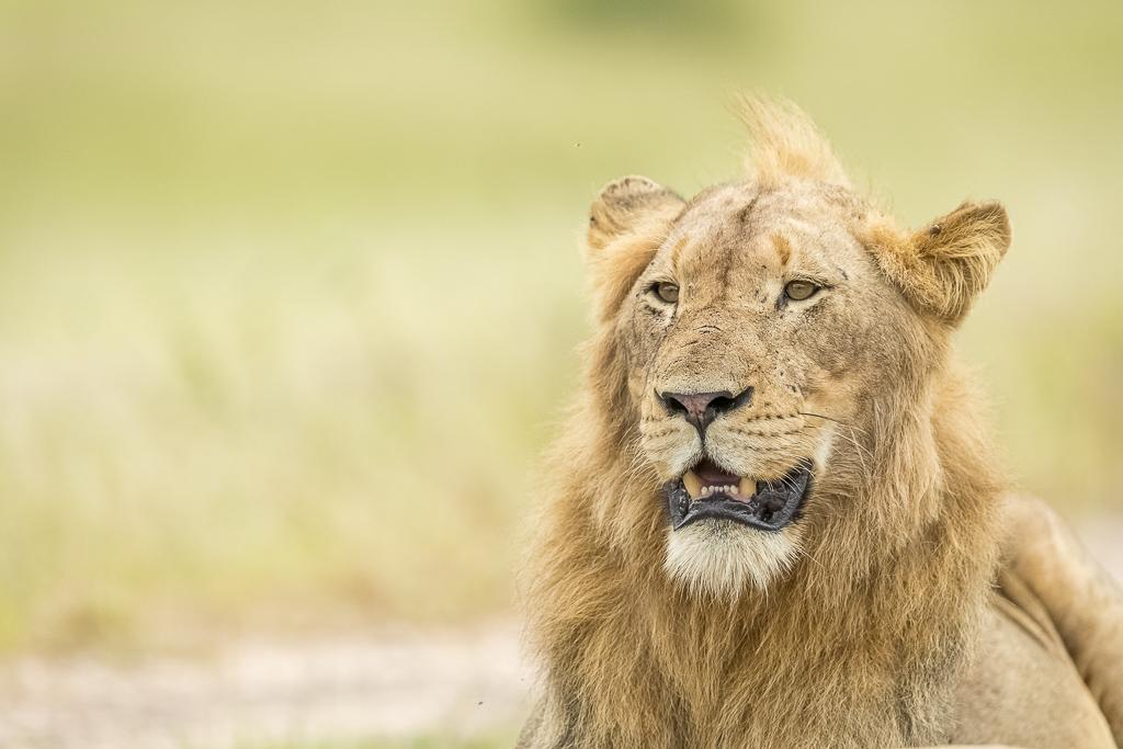 Skukuza Safari Lodge bush break - Male lion