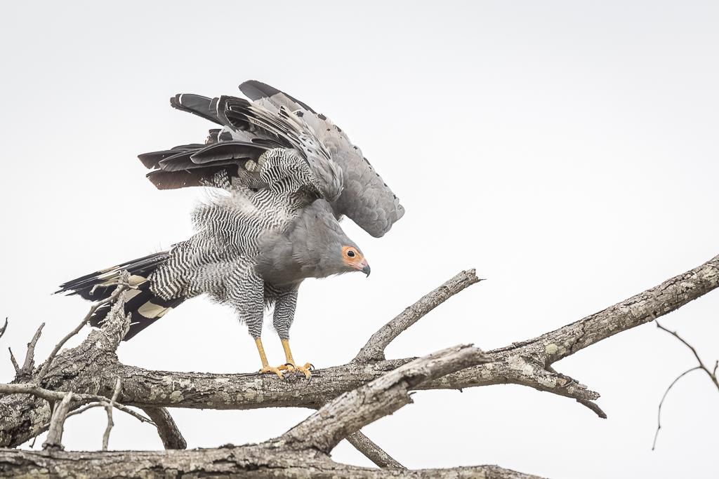 Skukuza Safari Lodge bush break - African Harrier Hawk