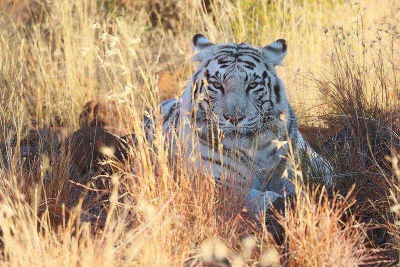 Skukuza Safari Lodge and Private Safari image of a leopard yawn
