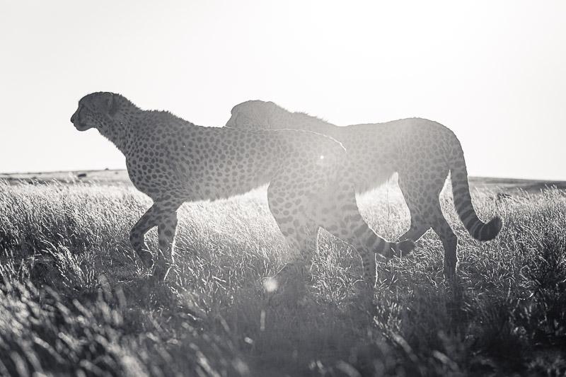 Skukuza Safari Lodge and Private Safari sepia image of an elephant
